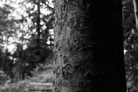 graytrees